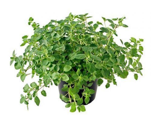 Najlepsze zioła do drobiu