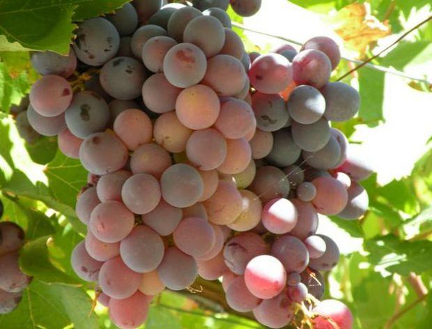 Schłodź swoje wino przy pomocy zamrożonych owoców