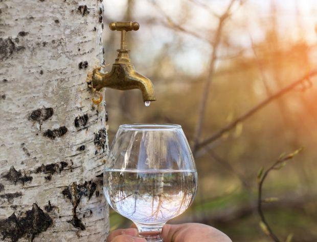 Do czego wykorzystać sok z brzozy?