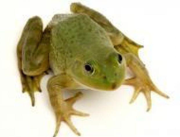 Szła żaba przez jezdnię...