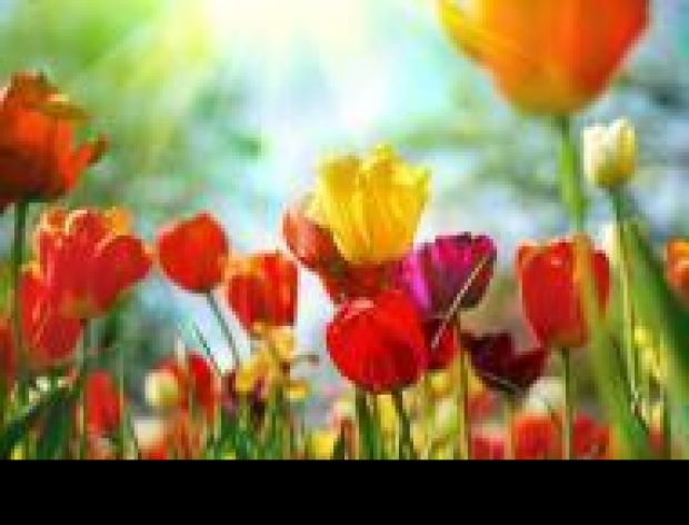 Tulipany na talerzu?